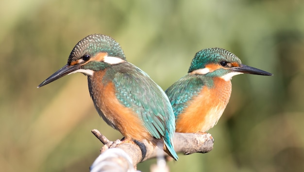Zimorodek, alcedo. dwa młode zimorodki zaglądają do rzeki, czekając na ryby
