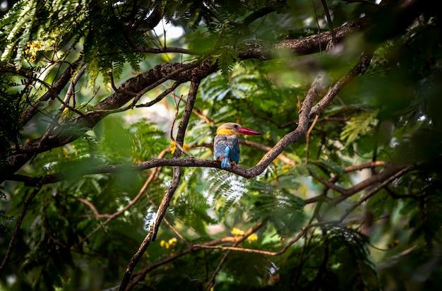 Zimorodek bocianowy na gałęzi w lesie