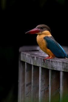 Zimorodek bocianowy przysiada na drewnianym moście