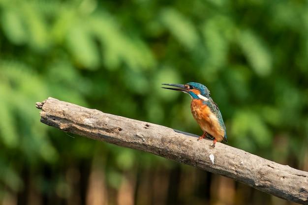 Zimorodek zwyczajny (alcedo atthis) siedzący na gałęzi. ptak. zwierząt.