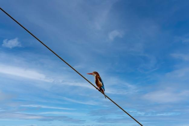 Zimorodek zwyczajny rano wschodzi słońce popularny budynek dla ptaków łapią się na przewód zasilający