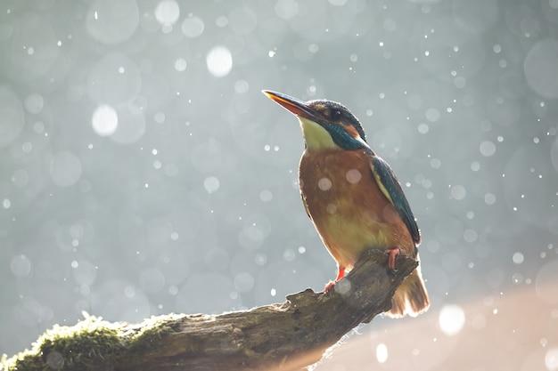 Zimorodek zwyczajny siedzący na konarze w letni deszcz podświetlany wieczornym słońcem
