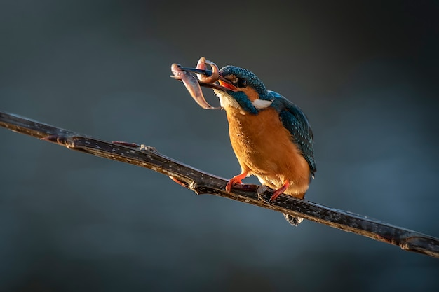 Zimorodka ptak na gałąź w naturze