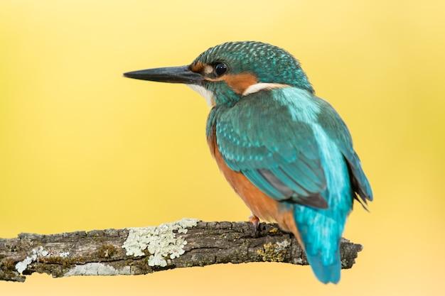 Zimorodka ptak preening na gałąź