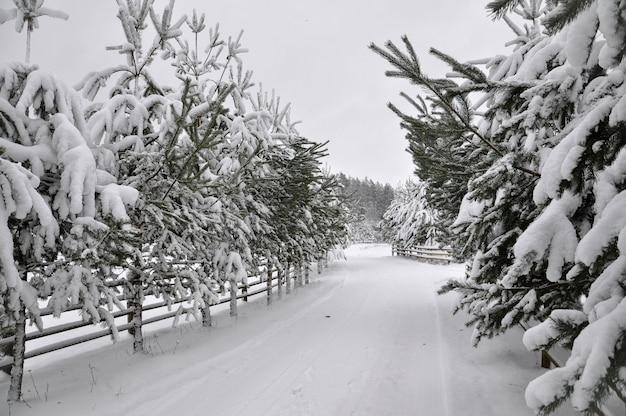 Zimowa droga z drewnianym płotem i jodłami po obu stronach drogi.