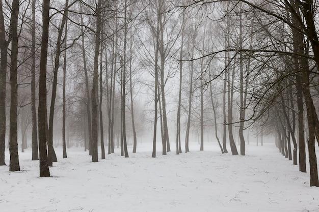 Zimowa pogoda w parku lub lesie i drzewa liściaste, mroźna zima po opadach śniegu z gołymi drzewami liściastymi, drzewa liściaste w zimie