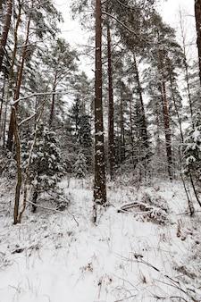 Zimowa pogoda w parku lub lesie i jodły sosnowe, jodły i sosny w sezonie zimowym, mroźna zima po opadach śniegu z długimi sosnami lub jodłami