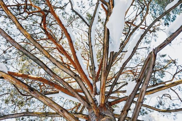 Zimowa sosna z ośnieżonymi gałęziami
