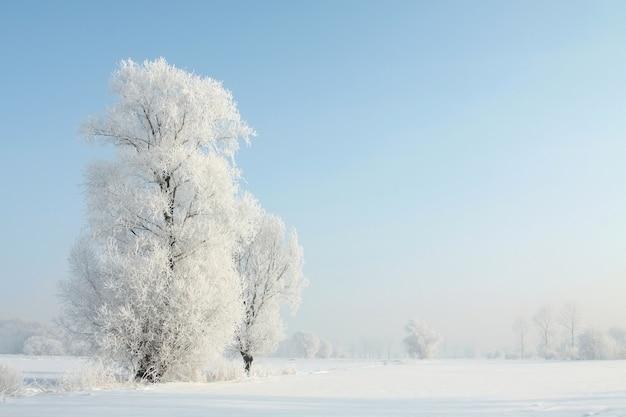 Zimowe drzewa na tle błękitnego nieba o świcie