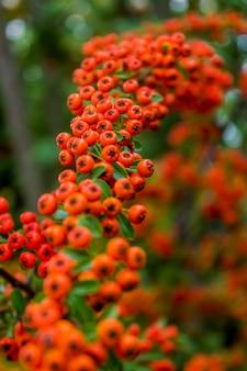 Zimowe drzewo jagodowe