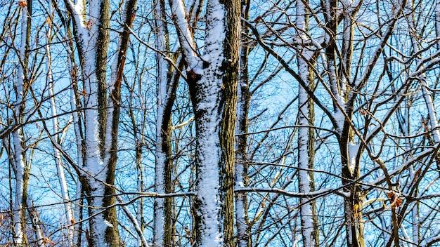 Zimowe tło z ośnieżonymi drzewami przy słonecznej pogodzie