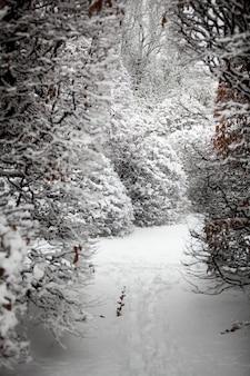 Zimowe ujęcie ścieżki między wysokimi krzakami w lesie pokrytym śniegiem
