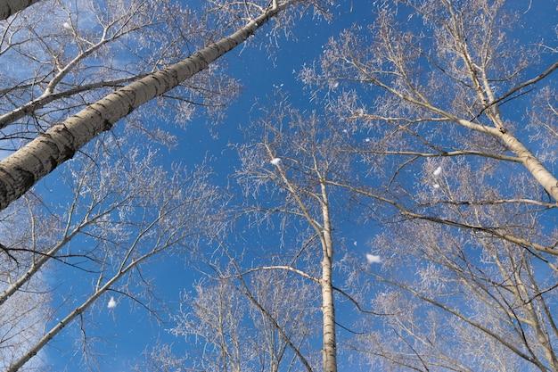 Zimowe zdjęcie błękitnego nieba w otoczeniu koron drzew. szron spadający z gałęzi