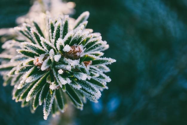 Zimowe zdjęcie makro świerk gałąź w kryształkach lodu