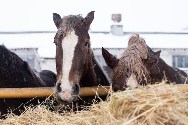 Zimowy dzień, konie na farmie jedzą siano