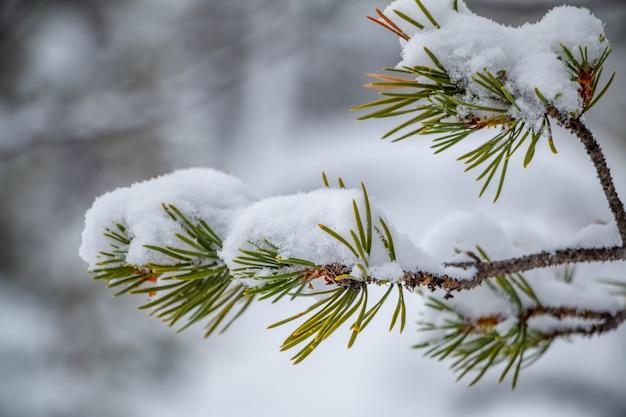 Zimowy. gałąź sosny z bliska. dużo śniegu