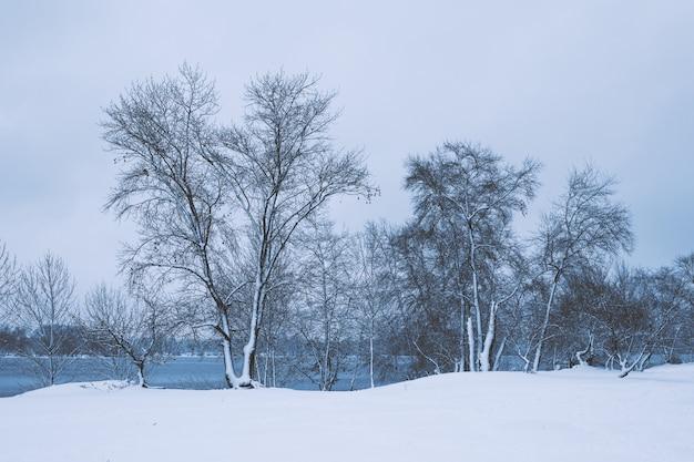 Zimowy krajobraz - drzewa leśne zima śnieg w pochmurną zimę