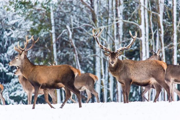 Zimowy krajobraz dzikiej przyrody ze szlachetnymi jeleniami cervus elaphus,