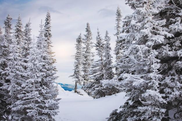 Zimowy krajobraz naturalny w śnieżnym lesie iglastym. białe, puszyste, pokryte śniegiem jodły, majestatyczny spokój. nieskazitelne dzikie piękno. pocztówka świąteczna bajka, tapeta na pulpit.