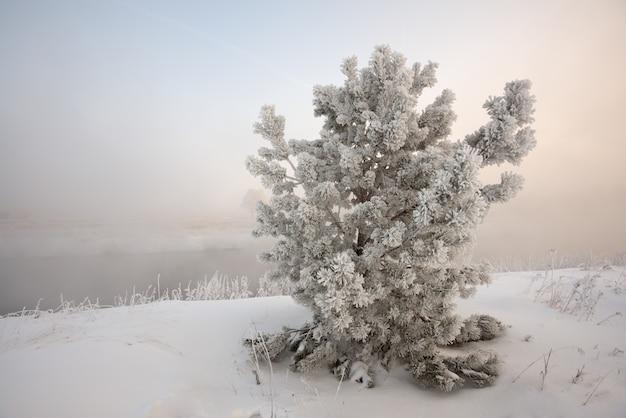 Zimowy krajobraz o wschodzie słońca, świerk pokryty mrozem