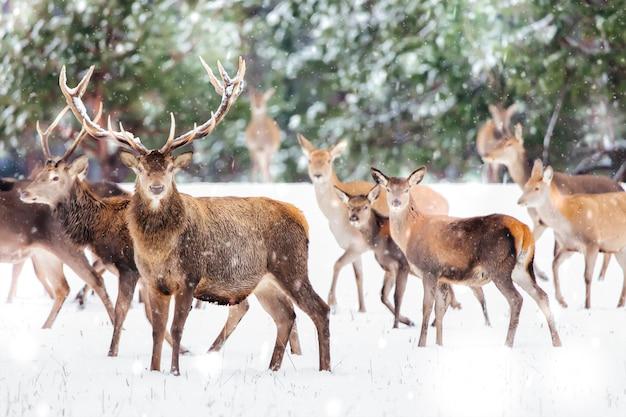 Zimowy krajobraz przyrody ze szlachetnymi jeleniami