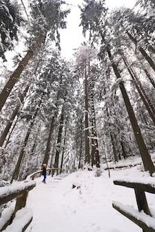 Zimowy krajobraz w gęstym lesie z wysokimi drzewami pokrytymi śniegiem