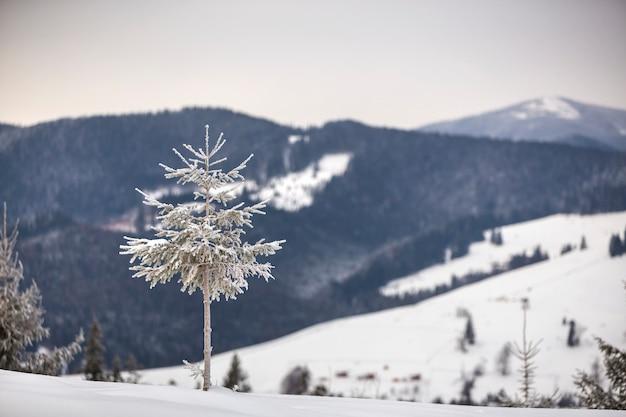 Zimowy krajobraz. wysoka sosna samotnie na górskim śnieżnym zboczu w zimny słoneczny dzień na niewyraźne gęsty las świerkowy.