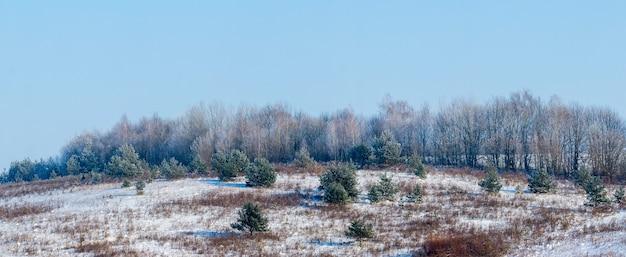 Zimowy krajobraz z ośnieżonymi świerkami w zimowym lesie przy słonecznej pogodzie, panorama