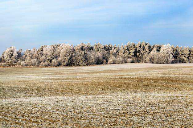 Zimowy krajobraz z pokrytym śniegiem polem i lasem mieszanym z drzewami liściastymi i iglastymi po opadach śniegu i mrozie