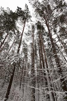 Zimowy krajobraz z różnymi rodzajami drzew pokrytych białym śniegiem i szronem w sezonie zimowym, mroźny dzień po opadach śniegu