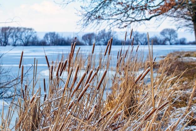 Zimowy krajobraz z trzciną na brzegu rzeki