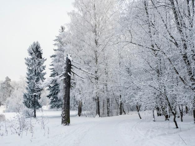 Zimowy krajobraz ze złamaną sosną i zaśnieżoną drogą przez las.