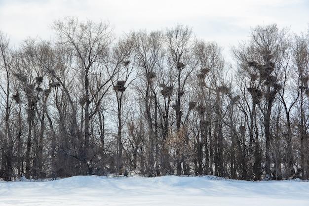 Zimowy las bez liści, na gałęziach jest dużo pustych gniazd ptasich, ptaki wędrowne zostawiają puste gniazda do wiosny, dużo śniegu. koncepcja dzikiej przyrody, gniazdo ptaków wędrownych