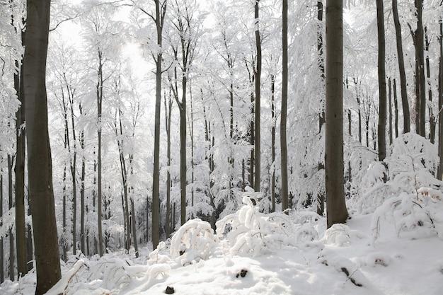 Zimowy las bukowy w mroźny słoneczny poranek