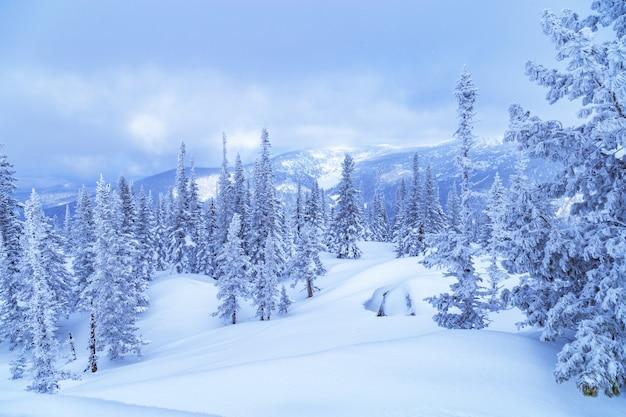 Zimowy las iglasty na szczycie góry utua.