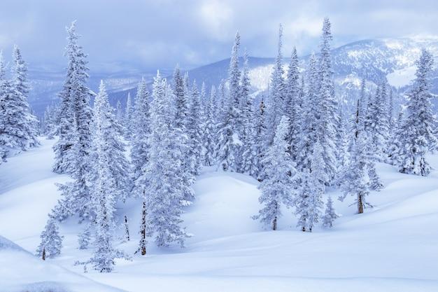 Zimowy las iglasty. padający śnieg, błękitne niebo i białe opady śniegu. widok przyrody w ośrodku narciarskim sheregesh w rosji.