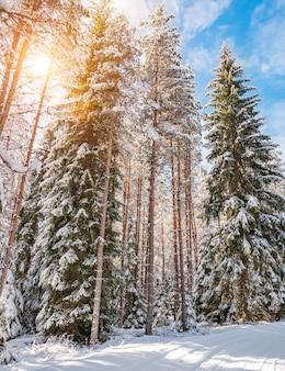 Zimowy las sosnowy w słoneczny dzień