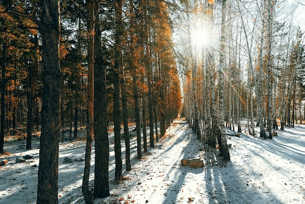 Zimowy las z brzozami i sosnami, promienie słońca przebijają się przez drzewa.