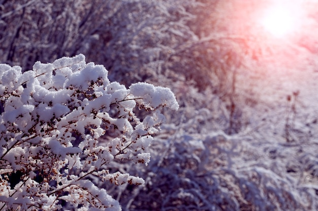 Zimowy las z ośnieżonymi drzewami i suchymi roślinami o zachodzie słońca