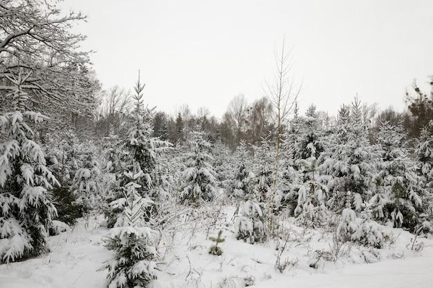 Zimowy las z różnymi gatunkami drzew, zimą śnieg