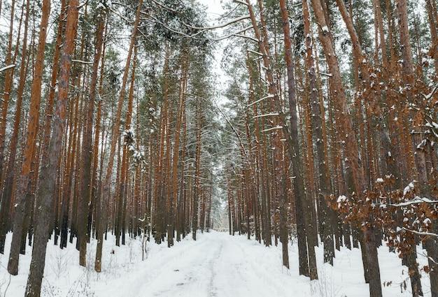 Zimowy las z wysokimi sosnami pokrytymi śniegiem