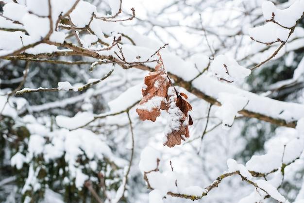 Zimowy nastrój. suszone liście dębu na gałęzi w zimowym lesie.