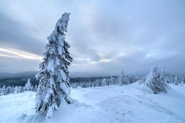 Zimowy niebieski krajobraz. świerkowy drzewo w głębokim śniegu na halnej polanie na zimnym słonecznym dniu dalej chmurny niebo.