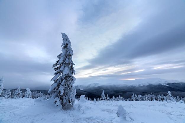 Zimowy niebieski krajobraz. świerkowy drzewo w głębokim śniegu na halnej polanie na zimnym słonecznym dniu na kopii przestrzeni chmurny niebo.