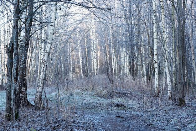 Zimowy poranek krajobraz z zamarzniętym lasem pokrytym szronem