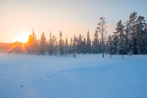 Zimowy. skraj krótkiego sosnowego lasu. słońce zachodzi na czystym niebie i świeci przez wierzchołki drzew