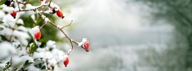 Zimowy widok ośnieżonego psa róży w lesie