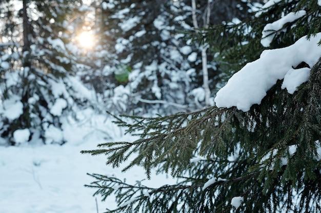 Zimozielona gałązka jodeł pokryta śniegiem rosnącym wśród innych drzew w lesie ze słońcem świecącym między nimi w zimowy dzień