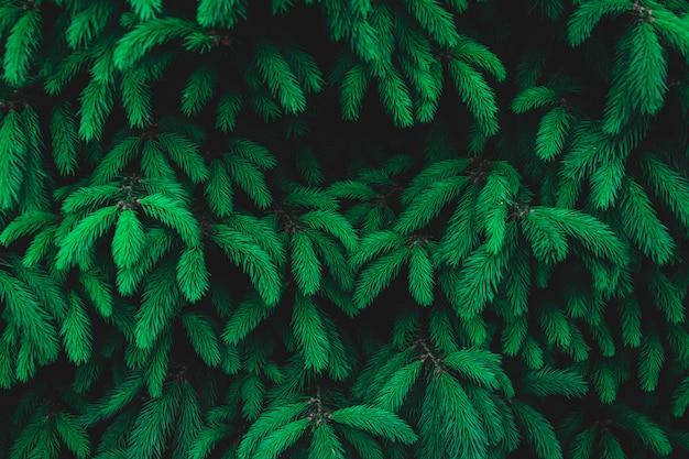 Zimozielone świerkowe gałęzie