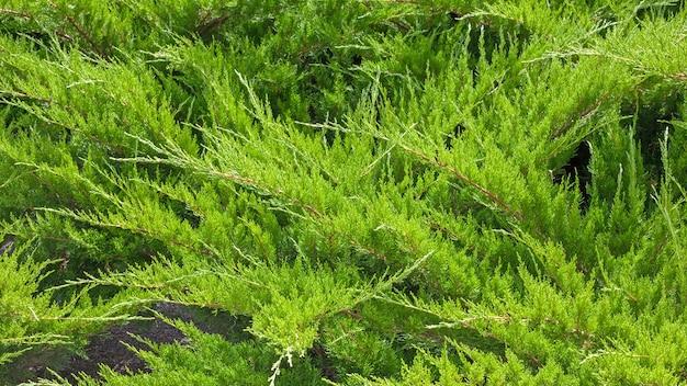 Zimozielony jałowiec kozacki w lecie. naturalny wzór i tekstura